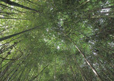 La forêt de bambous