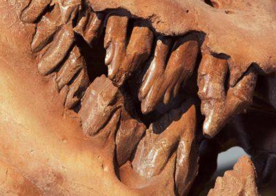 Les Dents de la terre,Jaws - Basilosaurus isis (cétacé fossile), (fossil cetacean)  -  Bernard Neau