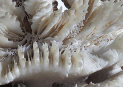 Silence - Mussa cristata, Caryophyllie crêtée de la Mer Rouge, Crested  caryophyllia from the Red Sea - Bernard Neau