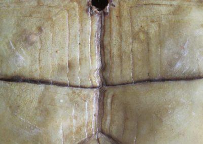 . 汉字, Sinogramme,Chinese character- Plastron de tortue Cistudo Carolina, Plastron of land tortoise - Bernard Neau