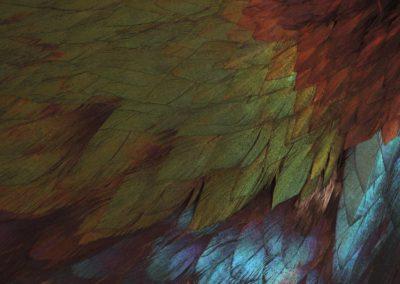 La Coiffe de l'Inca, The Inca's feather headdress - Logophorus impejanus, Logophore resplendissant, Hymalayan monal   -  Bernard Neau