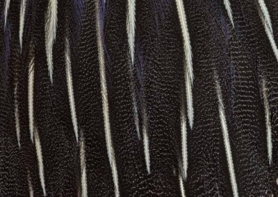 18. Le Songe d'une nuit d'été, A Midsummer Night's Dream - Acryllium vulturinum, Pintade vulturine d'Afrique de l'Est, Vulturine guineafowl from East Africa  - Bernard Neau