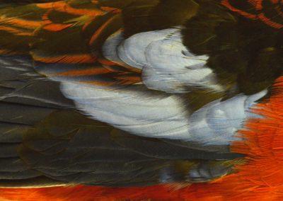 Brick fielder (vent d'Australie, australian wind) - Platycercus elegans, Perruche de Pennant (Australie), Crimson Rosella, australian parrot   - Xavier Noël
